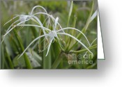 Cindy Longhini Greeting Cards - White Spider Orchid Greeting Card by Cindy Lee Longhini