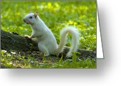 Larry Walker Greeting Cards - White Squirrel Greeting Card by J Larry Walker
