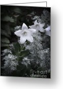Feathery Greeting Cards - White Star Flower at Nightfall Greeting Card by Mary Machare
