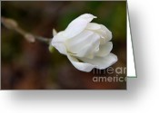 Star Magnolias Greeting Cards - White Star Magnolia Flower Beginnings Greeting Card by Jennie Marie Schell
