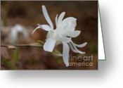 Star Magnolias Greeting Cards - White Star Magnolia Flower Blossom Greeting Card by Jennie Marie Schell