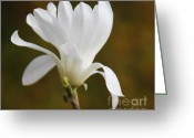 Star Magnolias Greeting Cards - White Star Magnolia Flower  Greeting Card by Jennie Marie Schell