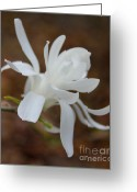 Star Magnolias Greeting Cards - White Star Magnolia Opening Greeting Card by Jennie Marie Schell