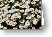 Cheerful Greeting Cards - White Summer Daisies Greeting Card by Christine Till