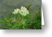 Swamp Milkweed Greeting Cards - White swamp milkweed Greeting Card by Matt Berry
