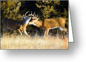 Bison Range Greeting Cards - White-tailed bucks sparring Greeting Card by Merle Ann Loman