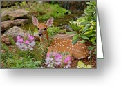 White Tailed Deer Greeting Cards - White-tailed Deer Fawn Greeting Card by Adam Jones and Photo Researchers
