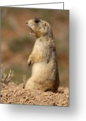Prairie Dog Greeting Cards - White-tailed Prairie Dog Giving A Fierce Bark Greeting Card by Max Allen