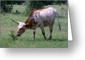 Green Pasture Greeting Cards - White Texas Longhorn Greeting Card by Linda Phelps