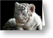 Tiger Cub Greeting Cards - White Tiger Cub Greeting Card by Julie L Hoddinott