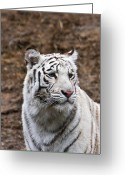 Intent Greeting Cards - White Tiger Portrait Greeting Card by Douglas Barnett