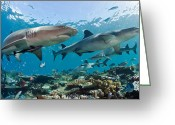 Prowling Greeting Cards - White Tip Reef Sharks Greeting Card by Michael P ONeill and Photo Researchers