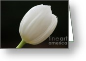 Flower Photograph Greeting Cards - White tulip 1 Greeting Card by Carol Lynch
