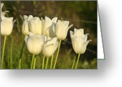 Seasons Framed Prints Prints Greeting Cards - White Tulip Flowers art prints Spring Green Garden Greeting Card by Baslee Troutman Fine Art Prints