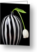 Blossom Greeting Cards - White tulip in striped vase Greeting Card by Garry Gay