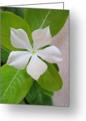 Vinca Flowers Greeting Cards - White Vinca Greeting Card by Adrian Guerra