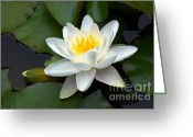 Moist Greeting Cards - White Water Lily and Bud Greeting Card by Susan Isakson