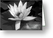 Bw Pyrography Greeting Cards - White Water Lily Greeting Card by Mira Dimitrijevic