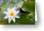Knob Greeting Cards - White Water Lily Greeting Card by Semmick Photo