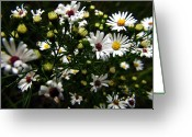 Aster  Photo Greeting Cards - White Wild Aster Greeting Card by Scott Hovind