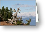 Oblique Greeting Cards - Whitebark Pine at Crater Lakes rim - Oregon Greeting Card by Christine Till
