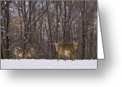 Whitetail Deer Greeting Cards - Whitetail Deer Greeting Card by Anthony Sacco