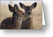 Whitetail Deer Greeting Cards - Whitetail Deer Greeting Card by Ernie Echols