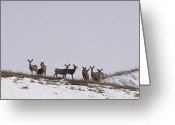 Whitetail Deer Greeting Cards - Whitetail Deer In The Snow In Burwell Greeting Card by Joel Sartore