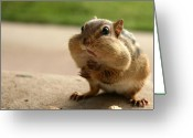 Chipmunk Greeting Cards - Who Me Greeting Card by Lori Deiter