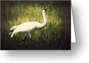 Feed Greeting Cards - Whooping Crane 1 Greeting Card by Al  Mueller