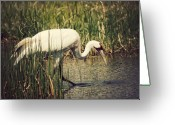 Feed Greeting Cards - Whooping Crane 2 Greeting Card by Al  Mueller