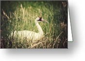 Feed Greeting Cards - Whooping Crane 3 Greeting Card by Al  Mueller