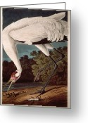 Drawing Greeting Cards - Whooping Crane Greeting Card by John James Audubon