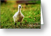 Canada Goose Greeting Cards - Whos There Greeting Card by Scott Pellegrin