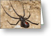 Black Widow Greeting Cards - Widows Web Greeting Card by Dennis Hofelich