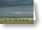 Midwestern States Greeting Cards - Wild American Bison Roam On A Ranch Greeting Card by Joel Sartore