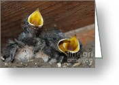 Urban Pyrography Greeting Cards - Wild Animals Baby Birds www.pictat.ro Greeting Card by Preda Bianca Angelica