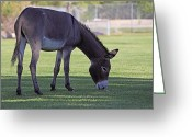 Burro Greeting Cards - Wild Burro in Park Greeting Card by Linda Phelps