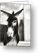 Burro Greeting Cards - Wild Burro Portrait B and W Greeting Card by Linda Phelps