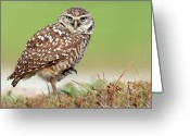 Burrowing Owl Greeting Cards - Wild Burrowing Owl Balancing On One Leg Greeting Card by Mlorenzphotography