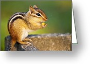 Fur Stripes Greeting Cards - Wild chipmunk  Greeting Card by Elena Elisseeva