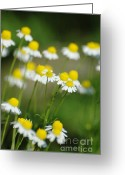 Not Mixed Media Greeting Cards - Wild Daisies Greeting Card by AdSpice Studios