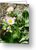 Dandelion Pyrography Greeting Cards - Wild Daisy Greeting Card by The Kepharts