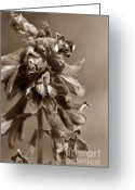 Mario Brenes Simon Greeting Cards - Wild flower in sepia Greeting Card by Mario Brenes Simon