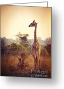 Safari Park Greeting Cards - Wild Giraffe Greeting Card by Gualtiero Boffi