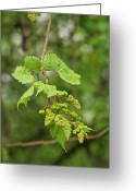 Flower Buds Greeting Cards - Wild Grapes 1992 Greeting Card by Michael Peychich