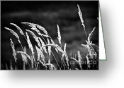 Backlit Greeting Cards - Wild grass in black and white Greeting Card by Elena Elisseeva