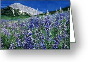 Barbara Painting Greeting Cards - Wild Lupine Greeting Card by Barbara Jewell