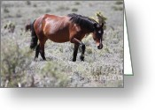 Bay Horse Greeting Card Greeting Cards - Wild Mustang - grazing Greeting Card by R and R Photography