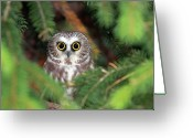 Pine Tree Greeting Cards - Wild Northern Saw-whet Owl Greeting Card by Mlorenzphotography